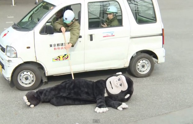 Ueno-Zoos-Escaped-Gorilla-Training-Exercise-is-Simply-Adorable-7-620x400