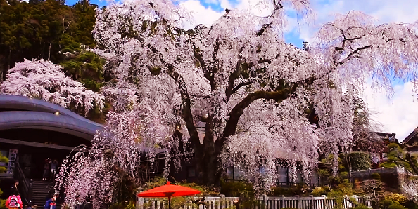 400 Year Old Cherry Tree In Full Bloom