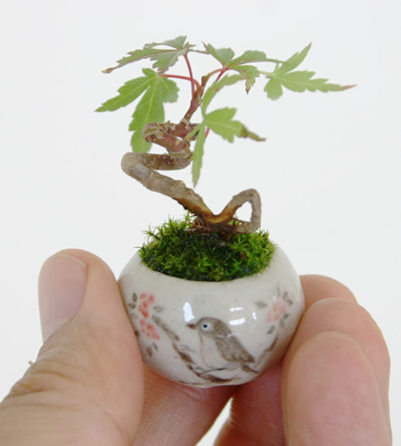 mini bonsai (3)