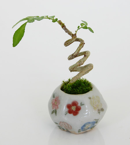 mini bonsai (9)