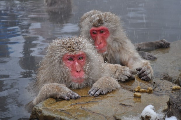 snow-monkeys-01