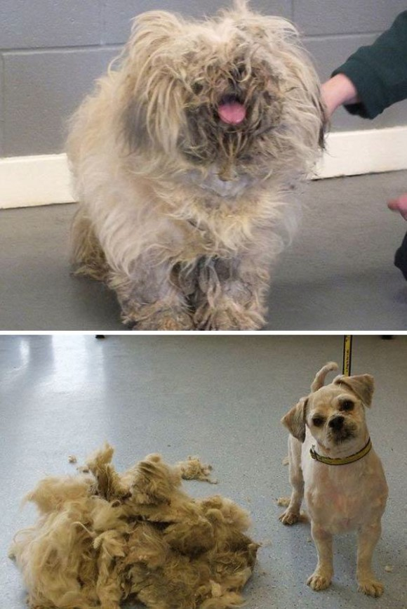 dog haircut (4)