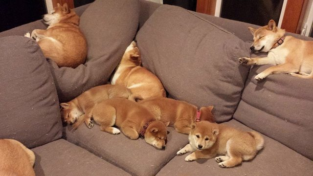 Shiba Inu - I want to know where I can buy a shiba couch