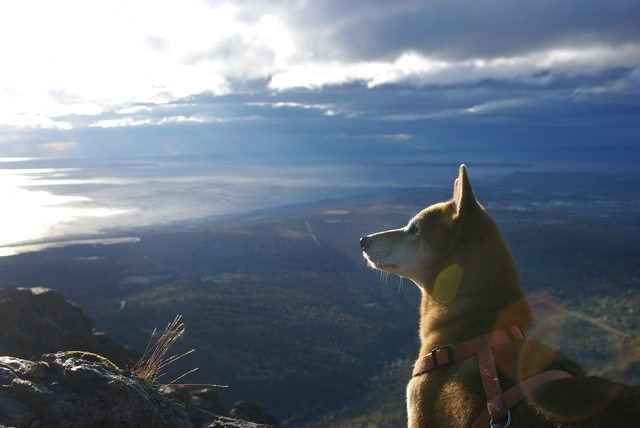 Shiba Inu - My shiba inu and I live in Alaska. Here he is on a walk today acting majestic overlooking the Pacific Ocean