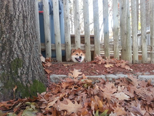Shiba Inu - he also loves escaping