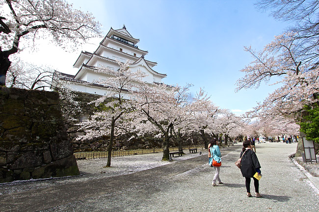 Tsuruga Castle saat musim semi (japan-guide.com)