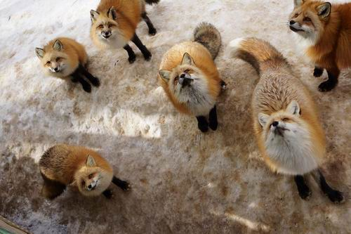 zao-fox-village-japan (14)