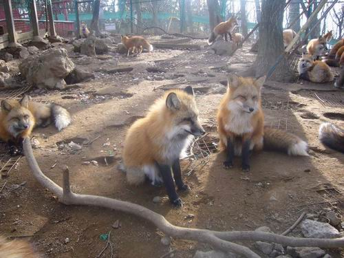 zao-fox-village-japan (17)