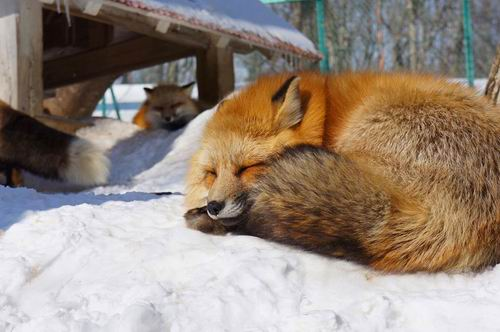 zao-fox-village-japan (21)