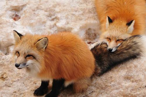 zao-fox-village-japan (8)