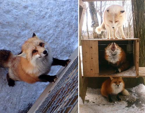 zao-fox-village-japan (9)